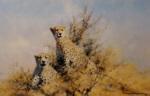 david shepherd african cheetahs signed print