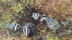 david shepherd badgers print