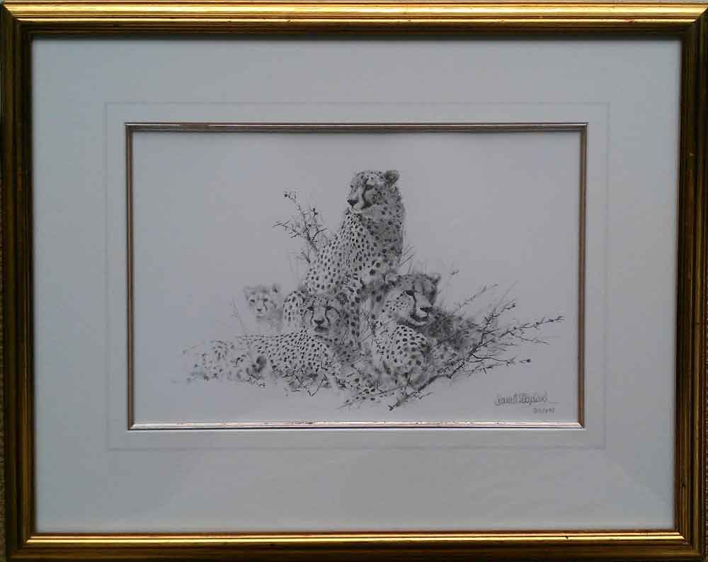 david shepherd, cheetah sketch
