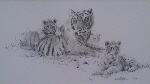 david shepherd tigers sketch print