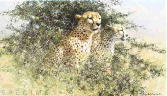 david shepherd cheetah, print