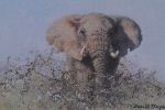 david shepherd elephant signed elephants print