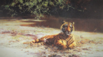 david shepherd indian siesta tiger print