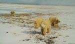 david shepherd polar bears prints