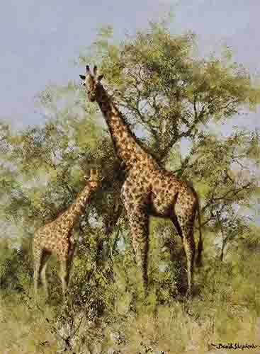 david shepherd masai giraffe and young print