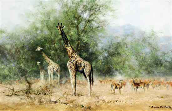 david shepherd curiosity giraffes original sold