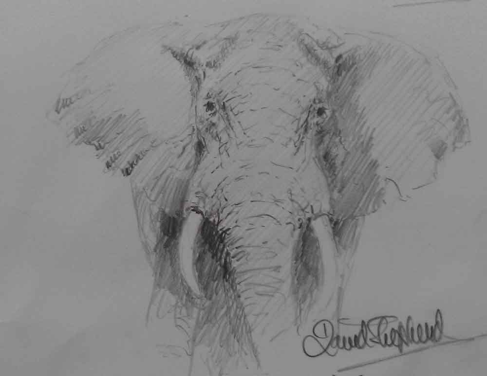 david shepherd pencil elephant drawing 1