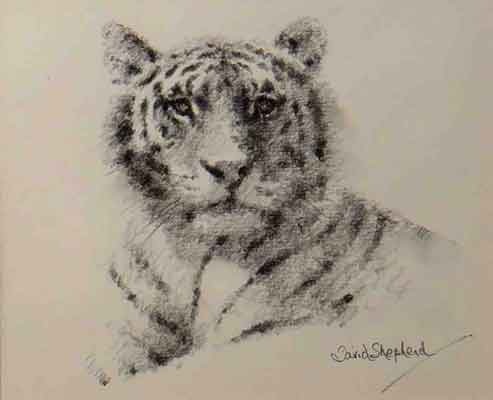 David Shepherd, originals, paintings, tiger head, drawing