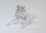 david shepherd portrait of a tiger drawing print
