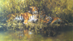 david shepherd signed limited edition print sleepy tigers