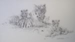 david shepherd tiger and cubs sketch print
