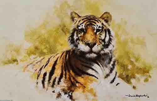 david shepherd tiger sketch print