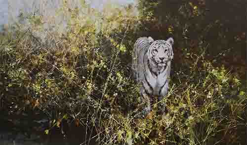 david shepherd signed limited edition print white tiger of rewa
