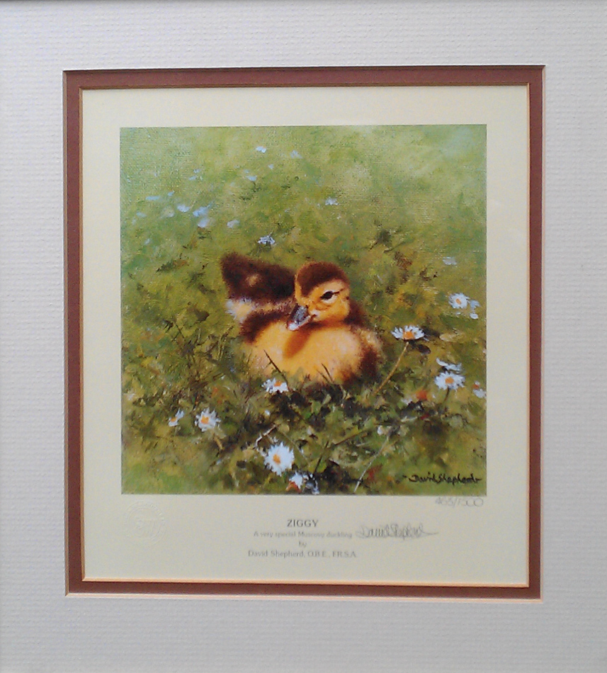 shepherd ziggy, duckling print mounted 2